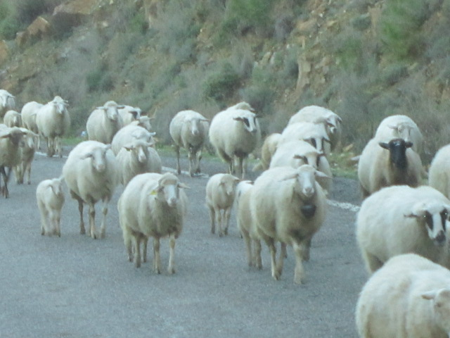 Sheep crossing...