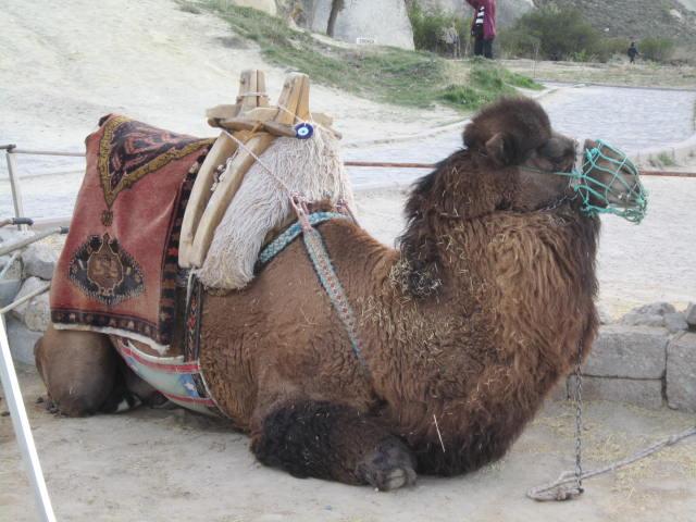 Sad camel :(