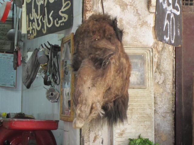 Camel for sale