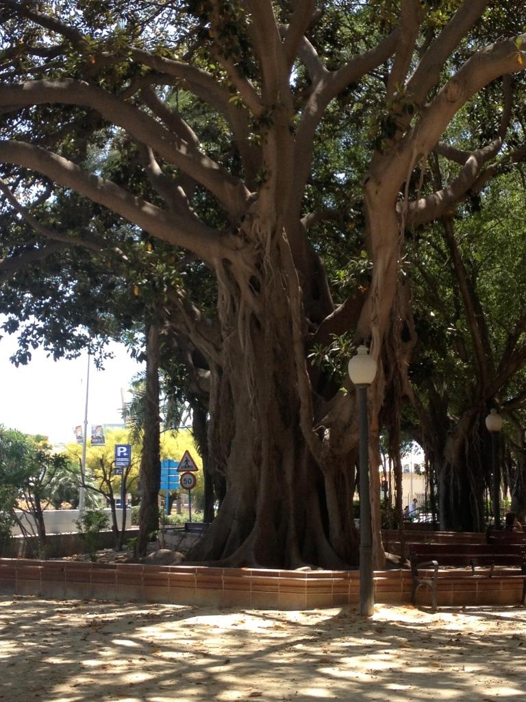 Interesting tree in a seaside park in Alicante